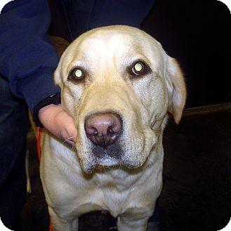 Labrador Retriever Mix Dog for adoption in Manassas, Virginia - Duran