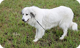 Great Pyrenees Mix Dog for adoption in Hibbing, Minnesota - Elsa