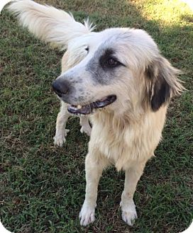 Great Pyrenees Mix Dog for adoption in East Hartford, Connecticut - Phyllis
