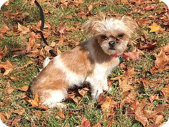 Pekingese/Poodle (Miniature) Mix Dog for adoption in Sunset Hills, Missouri - Izzy