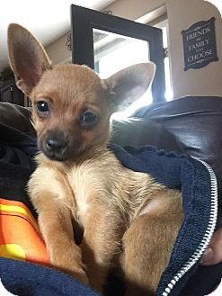 Chihuahua Mix Puppy for adoption in Rancho Cucamonga, California - MINDY