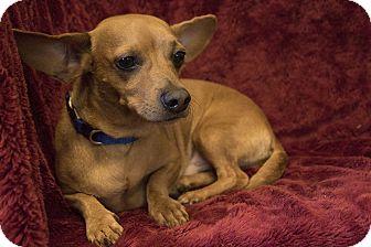 Dachshund/Chihuahua Mix Dog for adoption in Warner Robins, Georgia - Duke