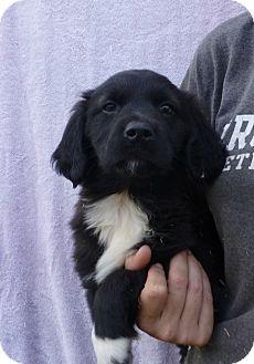 Golden Retriever/Labrador Retriever Mix Puppy for adoption in Oviedo, Florida - Akeela