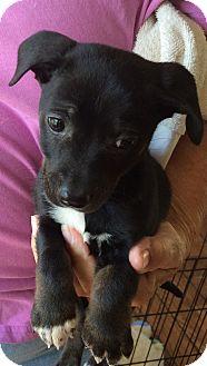 Labrador Retriever/Border Collie Mix Puppy for adoption in Powder Springs, Georgia - Trooper