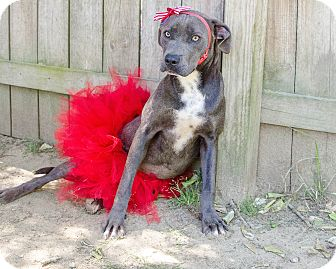 American Pit Bull Terrier Mix Puppy for adoption in Darlington, South Carolina - Nakia
