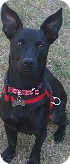 Labrador Retriever/Corgi Mix Dog for adoption in Phoenix, Arizona - Coco