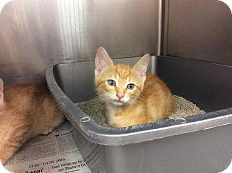 Domestic Shorthair Kitten for adoption in Janesville, Wisconsin - Rudy