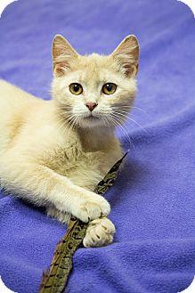 Domestic Shorthair Kitten for adoption in Chicago, Illinois - Freedom