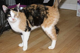 Calico Cat for adoption in Torrance, California - Ming
