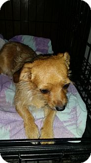 Fox Terrier (Wirehaired)/Chihuahua Mix Dog for adoption in Fullerton, California - Shabu