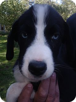 Border Collie Mix Puppy for adoption in Kendall, New York - Star