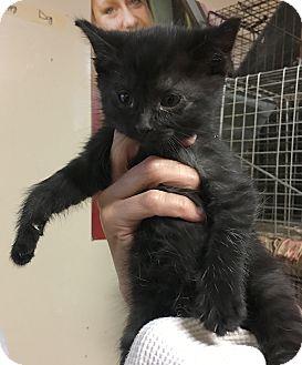 Domestic Shorthair Kitten for adoption in Loogootee, Indiana - Chloe