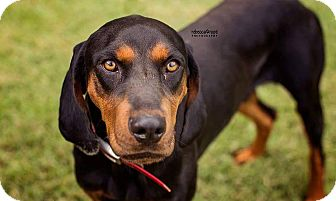 Black and Tan Coonhound Mix Dog for adoption in Tower City, Pennsylvania - Denali