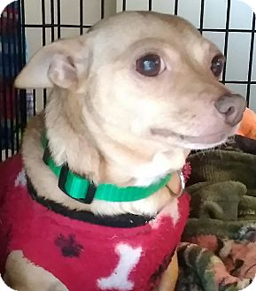 Chihuahua Mix Dog for adoption in Newnan, Georgia - Pebbles