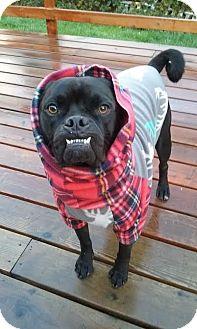 American Bulldog/Pug Mix Dog for adoption in Eugene, Oregon - Choochy