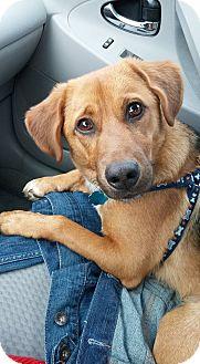 Beagle Mix Puppy for adoption in Champaign, Illinois - Doug
