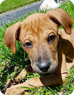 Hound (Unknown Type) Mix Puppy for adoption in Hockessin, Delaware - Sonny
