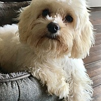 Maltese/Poodle (Miniature) Mix Puppy for adoption in San Pedro, California - Petals