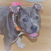 Staffordshire Bull Terrier Dog for adoption in Parsippany, New Jersey - CALLIE