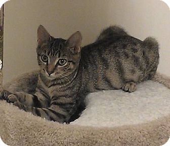 Ocicat Kitten for adoption in Marlton, New Jersey - Jenette