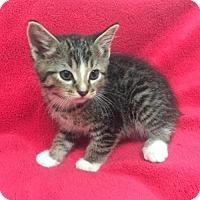 Domestic Shorthair Cat for adoption in Clarkesville, Georgia - Ramble On