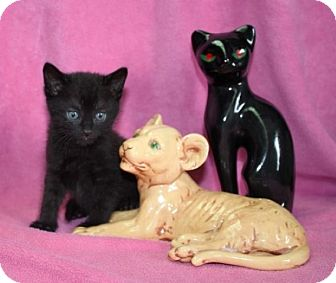 Domestic Mediumhair Kitten for adoption in Salem, New Hampshire - Mario
