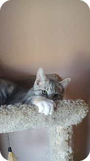 Domestic Shorthair Kitten for adoption in Hazel Park, Michigan - Mantis