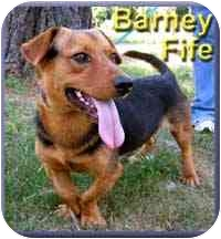 Basset Hound/Beagle Mix Dog for adoption in Aldie, Virginia - Barney Fife