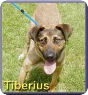 German Shepherd Dog Mix Dog for adoption in Aldie, Virginia - Tiberius