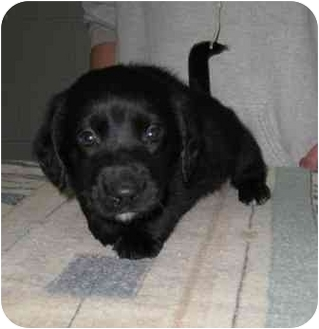 Golden Retriever/Dachshund Mix Puppy for adoption in Florence, Indiana - Oddball