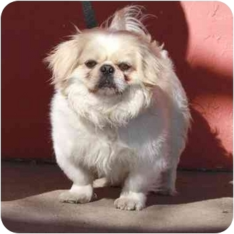 Pekingese Mix Dog for adoption in Denver, Colorado - Odee