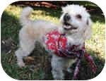 Toy Poodle Dog for adoption in Melbourne, Florida - LITTLE NIKKI