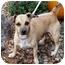 Photo 2 - Chihuahua/Dachshund Mix Dog for adoption in Kokomo, Indiana - Angel~ChiWeiney