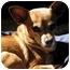 Photo 3 - Chihuahua Mix Dog for adoption in petaluma, California - MollyBrown