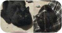 Domestic Longhair Cat for adoption in Stafford, Virginia - Winnie
