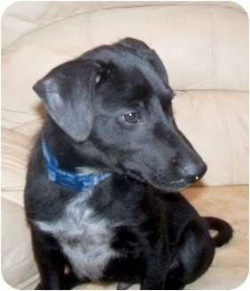 Labrador Retriever Mix Puppy for adoption in Detroit, Michigan - Wynton