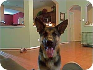 German Shepherd Dog Dog for adoption in Humble, Texas - Ben