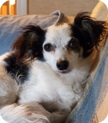 Chihuahua/Papillon Mix Dog for adoption in Mary Esther, Florida - Oreo
