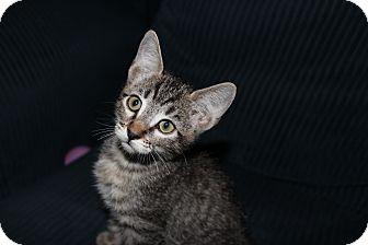 American Shorthair Kitten for adoption in Santa Monica, California - Blythe