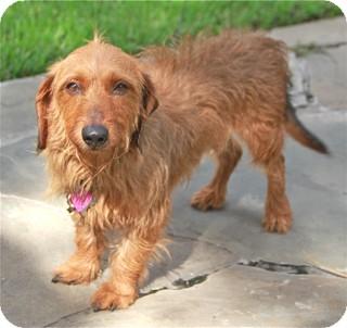 Dachshund Mix Dog for adoption in Woonsocket, Rhode Island - Dewey and Louie - Woodbury CT