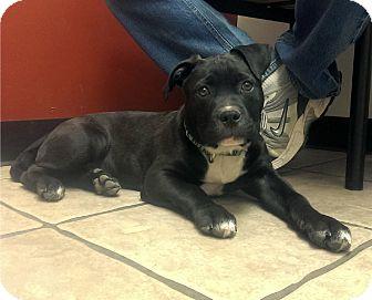 American Pit Bull Terrier Mix Puppy for adoption in O'Fallon, Missouri - Blaze
