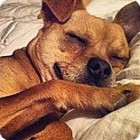 Adopt A Pet :: Taz - Sparks, NV