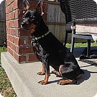 Adopt A Pet :: Brutus - Nashville, TN