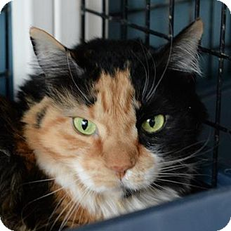Domestic Shorthair Cat for adoption in Denver, Colorado - Boo Boo