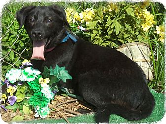 Labrador Retriever Mix Dog for adoption in Marietta, Georgia - JO  (R)