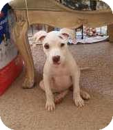 Pit Bull Terrier Mix Puppy for adoption in Las Vegas, Nevada - MS's Tcup