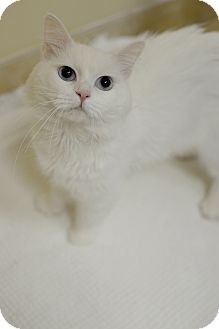 Himalayan Cat for adoption in Mission Viejo, California - River