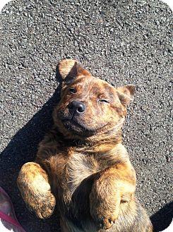 Golden Retriever/Shepherd (Unknown Type) Mix Puppy for adoption in Nashville, Tennessee - TEDDY