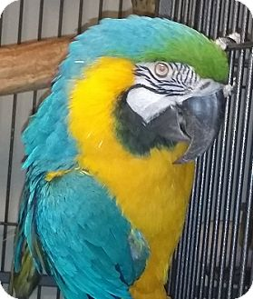 Macaw for adoption in Tampa, Florida - Journey