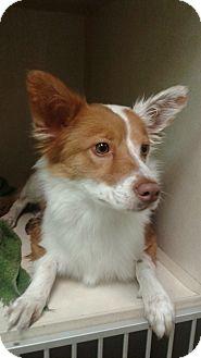 Australian Shepherd Mix Dog for adoption in Dallas, Texas - Rita Hayworth